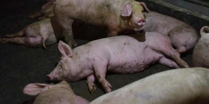 Huawei to use AI and high-tech to create 'smart pig farming'