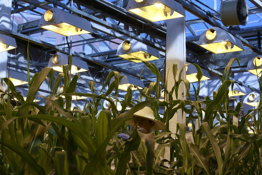 China set to OK genetically modified maize and soybean crops