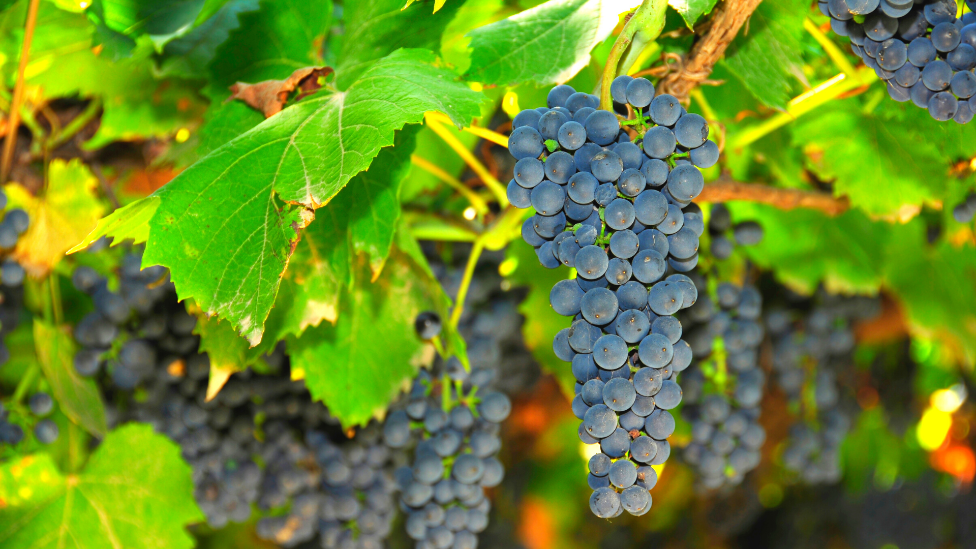 The fungi-est thing about grapes could be solved with AI