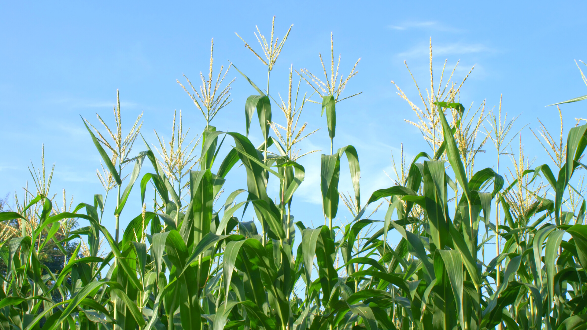 A ban on U.S. GMO corn could be an economic boom for Mexico