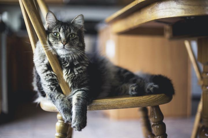 fluffy grey cat lying on the kitchen chair looking bored