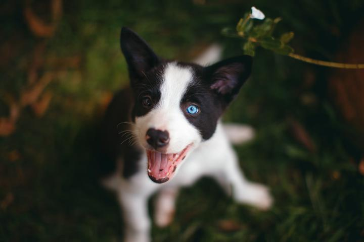 two-coloured happy puppy on the grass