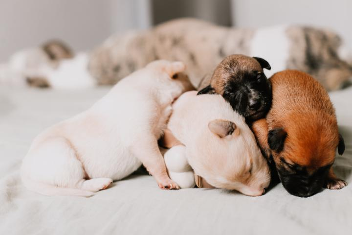 tiny puppies sleeping on the bed