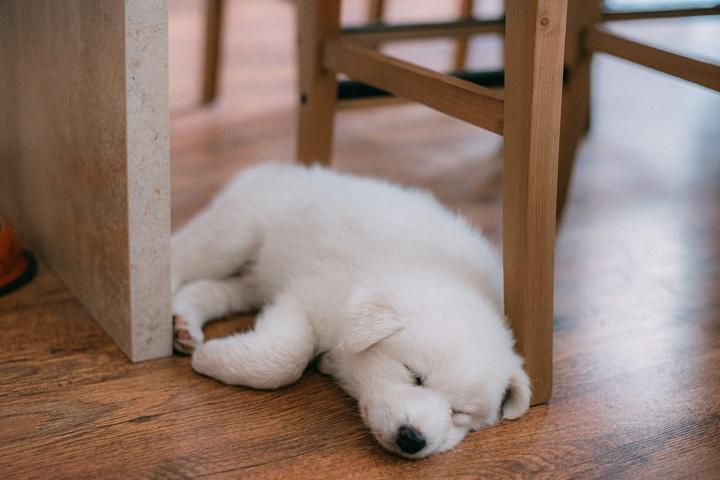 small white fluffy puppy sleeping on the floor