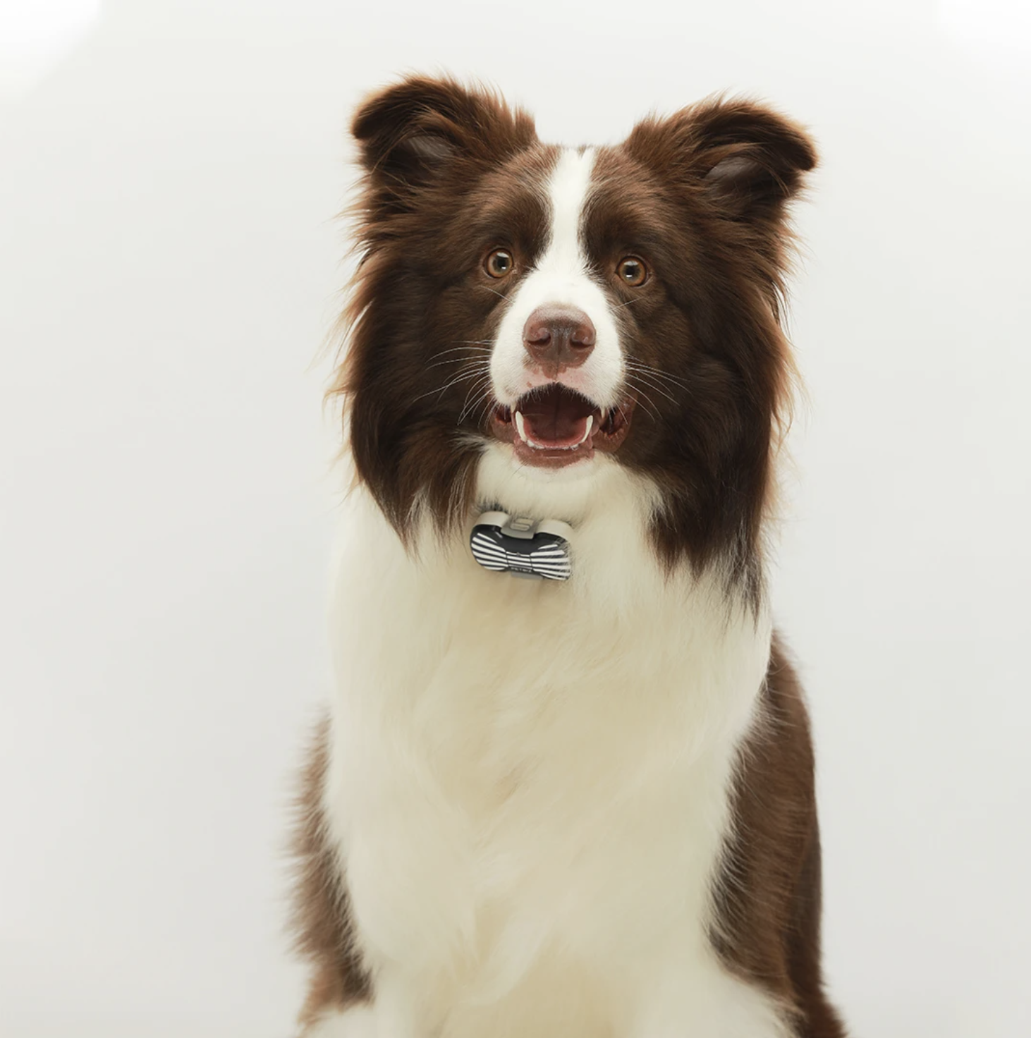 dog wearing petbiz tracker on his collarte background
